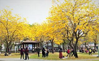 廍子公园风铃木满开 赏花防疫正当时