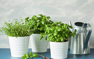 5种好栽种又好吃的香草植物 还能美化窗台