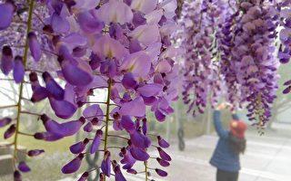 台灣阿里山花季 紫藤花、櫻花及九重葛爭豔