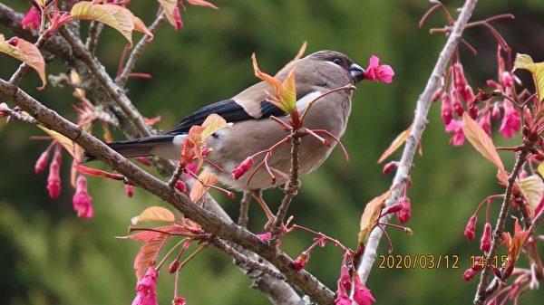 台湾浪漫阿里山樱花季 摄影师带你赏樱观鸟