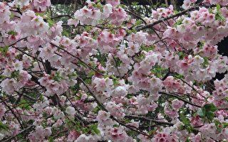 台灣浪漫阿里山櫻花季 攝影師帶你賞櫻觀鳥