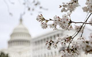 華府櫻花盛開 就在本週末