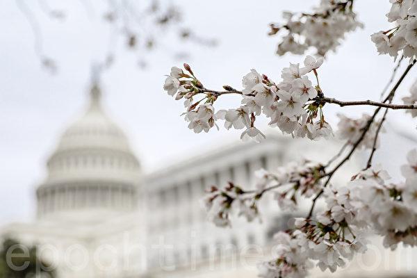 华府樱花盛开 就在本周末