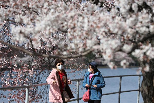 組圖:美國首都櫻花開 疫情影響遊客減少