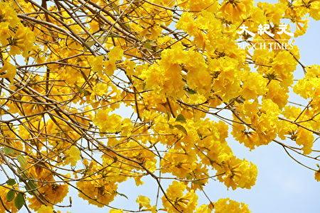黃金風鈴木花季時花多葉少,金黃色碩大的花朵頗為美麗壯觀。