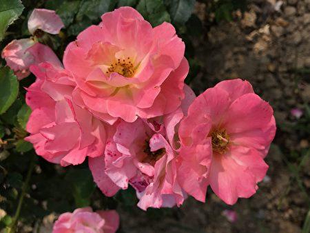 美麗的玫瑰。