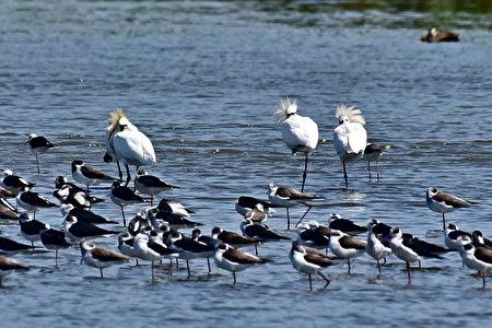 新竹「香山濕地」常吸引季節性候鳥暫棲覓食,是北台灣知名的賞鳥勝地。