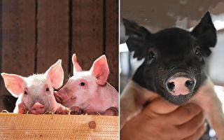 """农场征""""小猪抱抱员""""每周3小时工作超疗愈"""