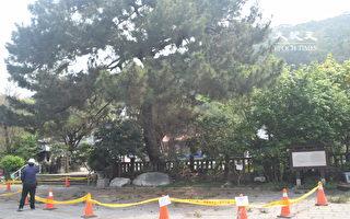三百年老樹病了 清水岩二葉松要吊點滴