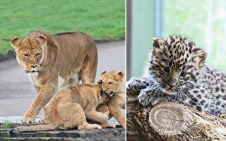 物种竞争摆一边  专家惊见母狮收养花豹宝宝
