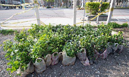 植樹活動的樹苗。