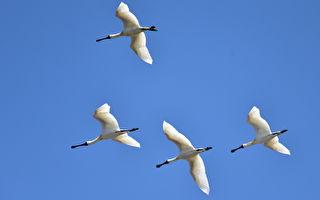 竹市香山湿地 国际明星鸟黑面琵鹭现身