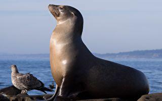 600磅海獅跑到森林中 警員如何讓牠回家呢?
