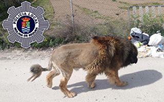 西班牙有獅子逛大街? 原來是小狗冒充的