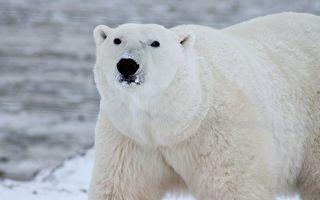 一隻北極熊胖680公斤 攝影師:牠愛吃又被養胖