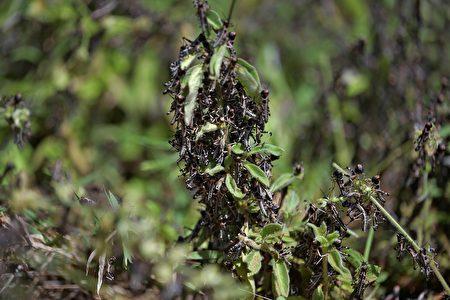 2020年2月25日在肯尼亞東部Isiolo縣Isiolo鎮附近拍攝的照片顯示,蝗蟲聚集在灌木叢中。 (TONY KARUMBA/AFP via Getty Images)