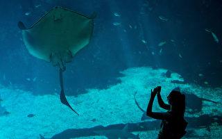 攝影師拍到罕見粉紅色魟魚 全球唯一
