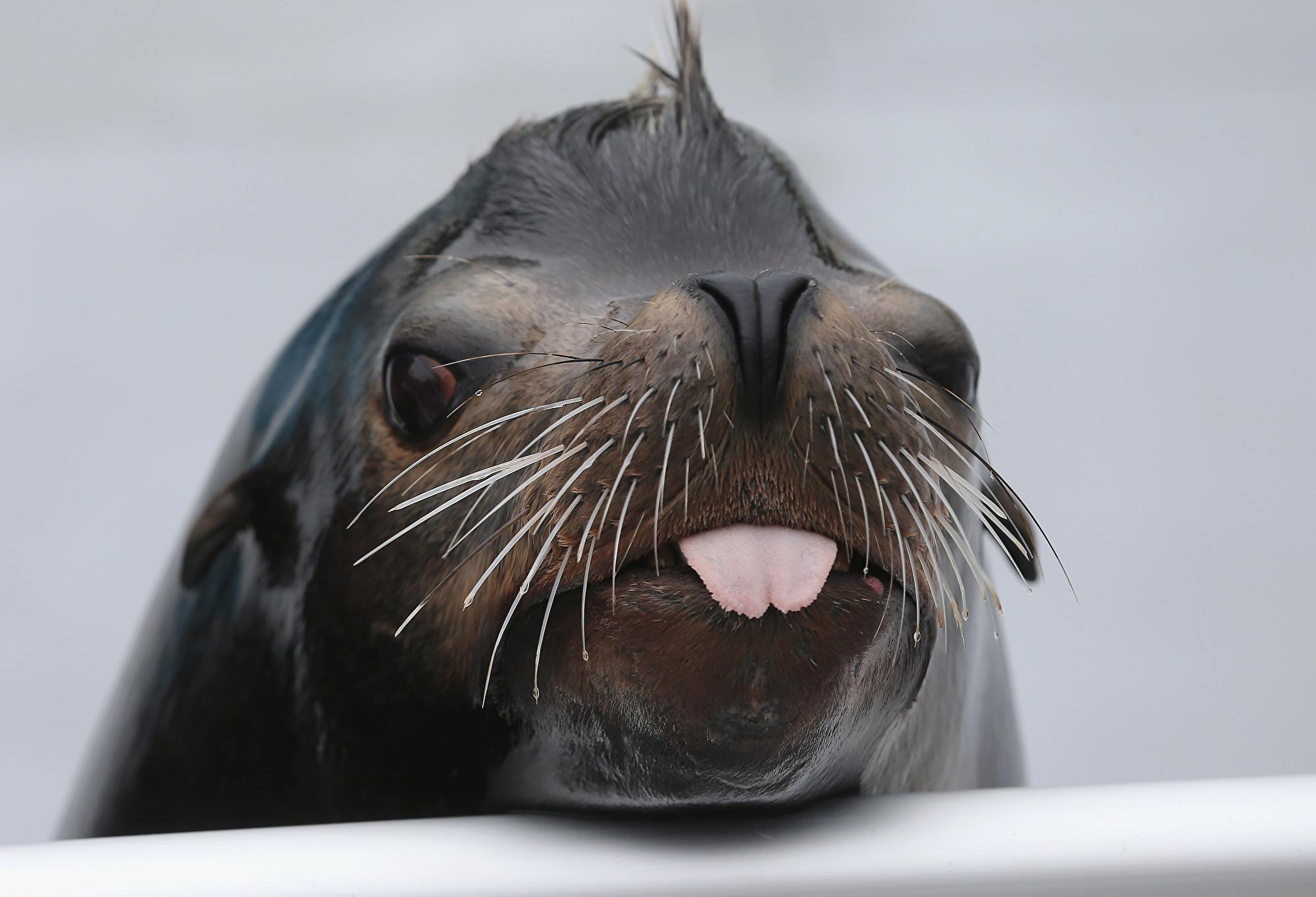 澳洲水族館關閉 海獅充當遊客在館內趴趴走