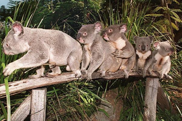 澳大利亞考拉數量3年內銳減約30%
