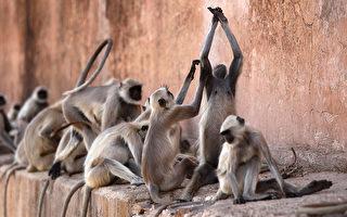 猴子成群滋事 印度边境警卫用这招吓阻