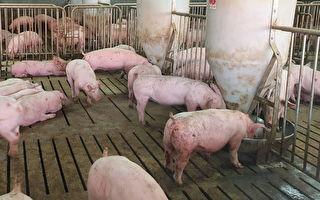 马国爆非洲猪瘟 即日起携猪肉品入台罚20万元