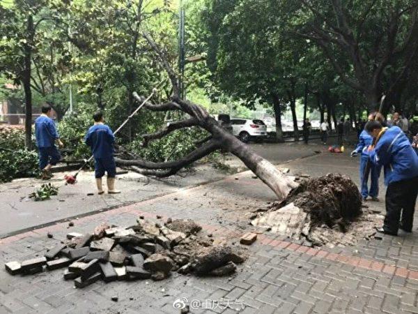 重慶網友:陣仗好大,樹都颳倒了……(網絡圖片)