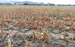 恆春半島洋蔥災損  農委會公告符合現金救助