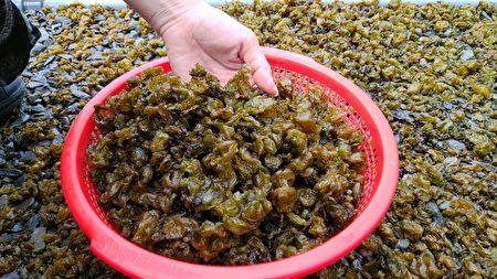 雨来菇的钙质比发菜高、铁比菠菜高、镁比海带高,是排湾族人从小吃到大的美食。