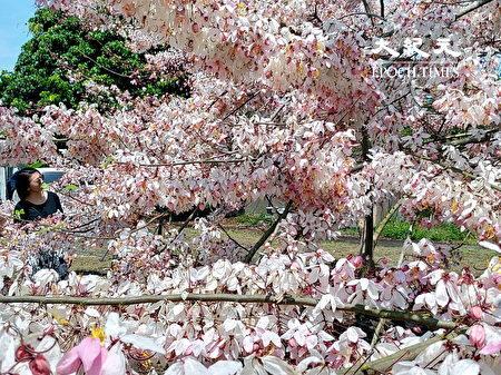 民众来到台南楠西区,除了泡汤外,还可欣赏盛开的花旗木花廊。