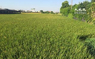 有保有保障  109年第1期作水稻保险3月底受理