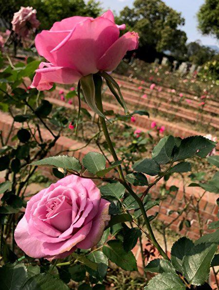 玫瑰綻放。