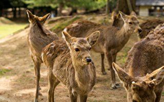 疫情下遊客餵食大減 日本奈良鹿四處找吃的