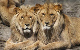 隔離家中也能看動物 維州動物園開線上直播