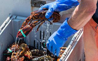 疫情下 加国龙虾几停止出口中国 生意仍兴旺