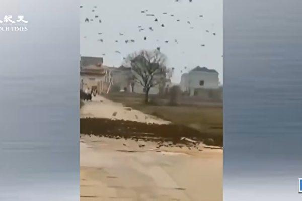 传江西出现数万只麻雀拦路 网民:天降异象