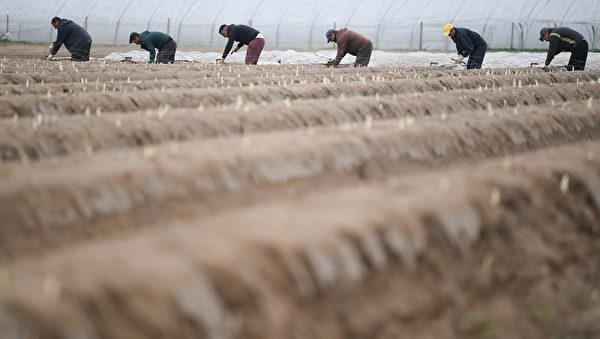 德國西部的蘆筍種植地。資料圖片。(Arne Dedert/dpa/AFP)/Germany OUT