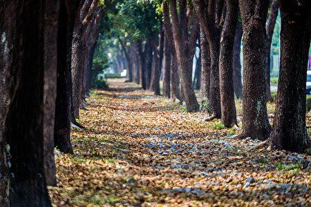當微風一吹,紅褐色落葉鋪滿步道,形成厚厚的落葉地毯,彷彿要進入神秘的奇幻世界。