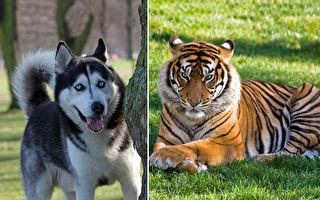 哈士奇散步回家驚見老虎嚇到腿軟:主人救命!