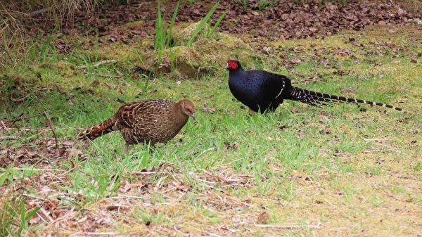 台阿里山保育帝雉有成 遊客看見國鳥好高興
