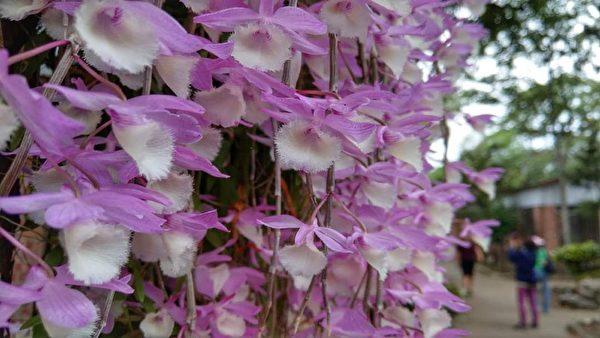 「花的瀑布」 台灣石斛蘭盛開花海壯觀
