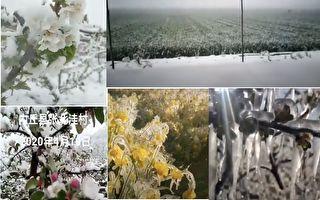 【现场视频】大陆多地作物被冻 果农连叫苦