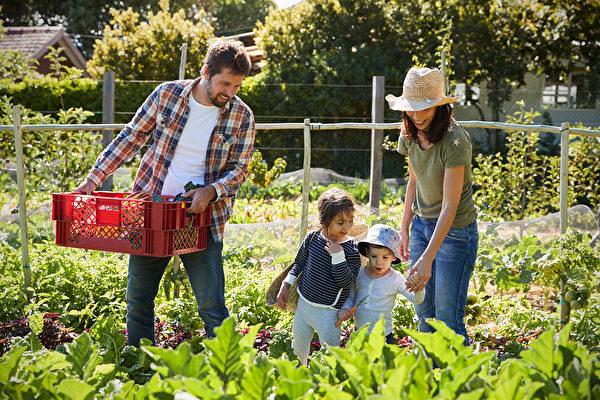 后院种菜养鸡 更多隔离家庭乐当城市农夫