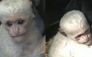 特有东黑白疣猴宝宝 布拉格羞涩亮相