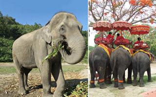 疫情下關閉大象營 卸下沉重座椅還78隻大象自由