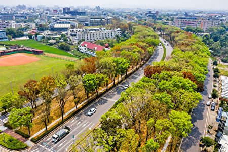 嘉義市世賢路三段的分隔島綠地長廊,種植整排近千棵桃花心木。