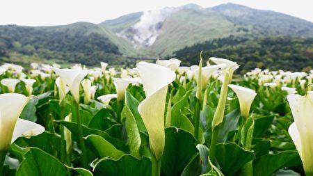 竹子湖的白色海芋花海。