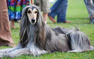 超华丽阿富汗犬 一碰水就变了 网:发菜?阿飘?