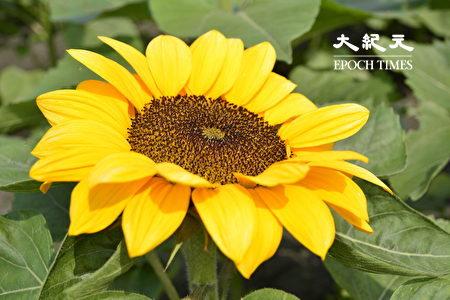 上萬朵8個品種的向日葵陸續綻放中。