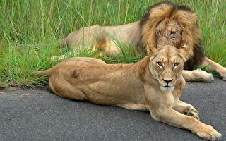因疫情關園 獅子們排排睡在無人的馬路上
