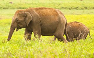 小象陷泥沼2天 大象妈狂叫悲鸣 幸好志工赶救援